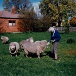 Mrs G W Keach feeding her sheep