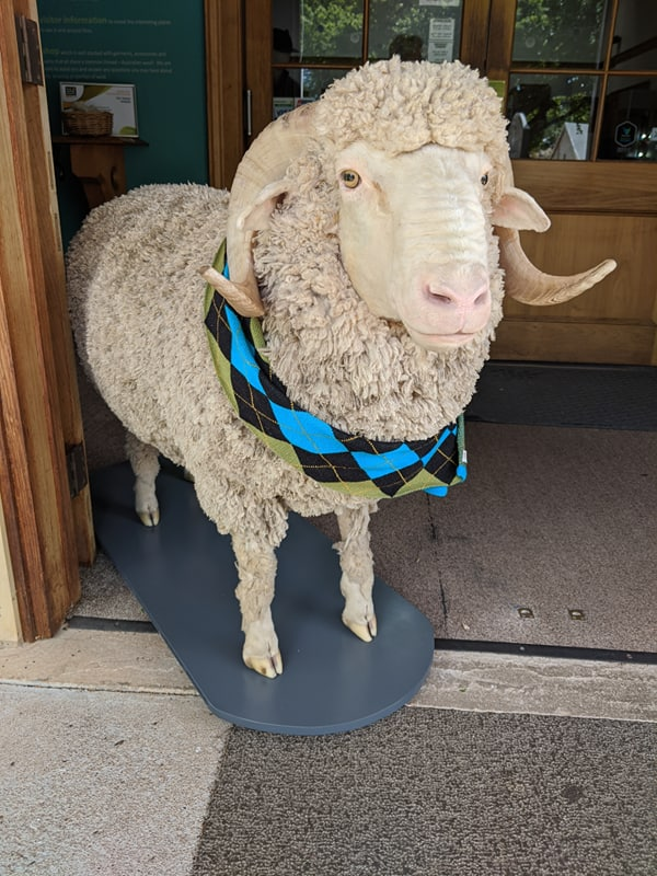 Jim the taxidermied sheep is our doorman at the Tasmanian Wool Centre.